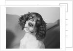 Portrait of Springer Spaniel Puppy by Corbis