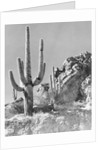 View of a Saguaro Cactus in Desert Site by Corbis