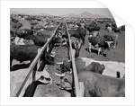 Shot of Cattle Feeding System by Corbis