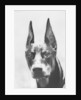 Head of Doberman Pinscher by Corbis