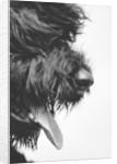 Furry Dog Panting by Corbis