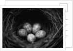 Bird Eggs in Nest by Corbis