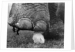 Elephant's Foot Hovering over a Chick by Corbis