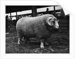 Ram at Agricultural Show by Corbis