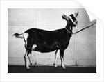 British Alpine Goat by Corbis