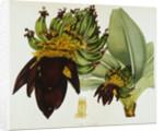 Musa Cavendishii by William Curtis