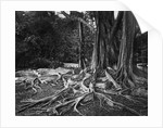 Roots of an Indian Rubber Tree by Corbis
