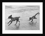 Monkey Walking Dog by Corbis