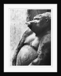 Pregnant Mountain Gorilla by Corbis