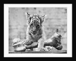 Tiger Cub With Large Bone by Corbis