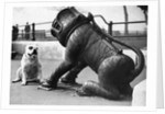 Bulldog with a Cannon by Corbis