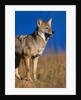 Male Coyote on the Prairie by Corbis