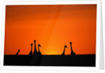 Giraffe Silhouettes at Sunset by Corbis