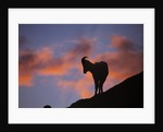 Dall's Sheep at Polychrome Pass by Corbis