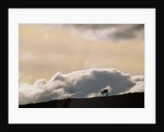 Lone Caribou in Denali National Park by Corbis