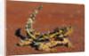 Thorny Devil on Desert Sand by Corbis