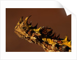 Head of a Thorny Devil by Corbis