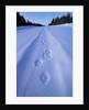 Animal Tracks near Alaska Highway by Corbis
