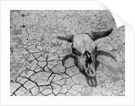 Cattle Skull on the Parched Earth by Corbis