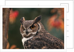 Great Horned Owl With Blurred Autumn Foliage by Corbis
