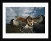 Harris' Hawk Lands on Falconer's Glove by Corbis