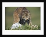 Canada Lynx Crouches Down to Stalk Food by Corbis