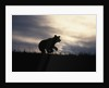 Silhouetted Grizzly Cub Running by Corbis