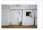 Horse Sticking Head out Barn Window by Corbis