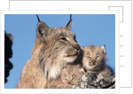 Canadian Lynx with Young by Corbis