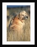 Golden Retriever in Prairie Grass by Corbis