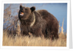 Grizzly Bear Eating Apple by Corbis