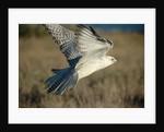 Gyrfalcon in Flight by Corbis
