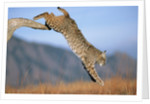 Bobcat Jumping from Branch by Corbis
