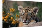 Siberian Tiger Cub by Corbis