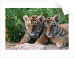 Two Siberian Tiger Cubs by Corbis