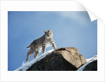 Bobcat Standing on Granite Cliff by Corbis