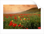 Field of Blooming Poppies by Corbis