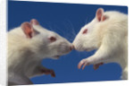 Aggressive Albino Rats Nose to Nose by Corbis