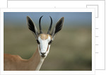 Head of a Springbok by Corbis