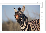 Plains Zebra Baring Its Teeth by Corbis