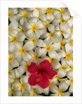 Hibiscus and Plumeria Blooms by Corbis