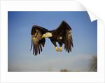 Bald Eagle in Flight by Corbis