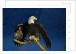 Bald Eagle Landing on a Snag by Corbis