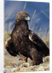 Golden Eagle Clutching Rabbit Kill by Corbis