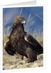 Golden Eagle Clutching Rabbit Kill by Corbis