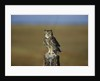 Great Horned Owl Perching on Post by Corbis