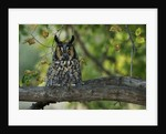 Long-Eared Owl Perched on Tree Branch by Corbis