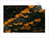 Cup Fungus on Rotting Rainforest Log by Corbis