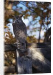 Great Horned Owl by Corbis