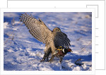 Goshawk Catching Prey by Corbis